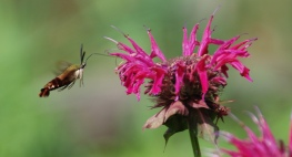 hummingbird hawkwing moth