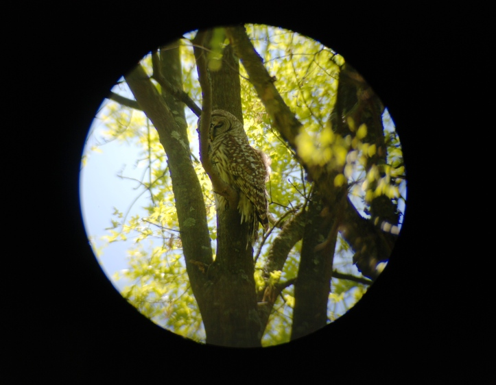 Looking at Barred Owl through Spotting Scope