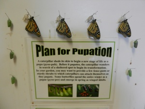 Monarch Butterflies Emerge in Pupation Chamber. Ensure plenty of space for them to spread and dry their wings.