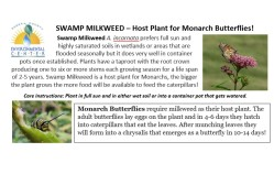 I sold swamp milkweeds at $2 each to promote pollinator conservation.
