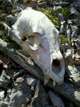 Bear Skull