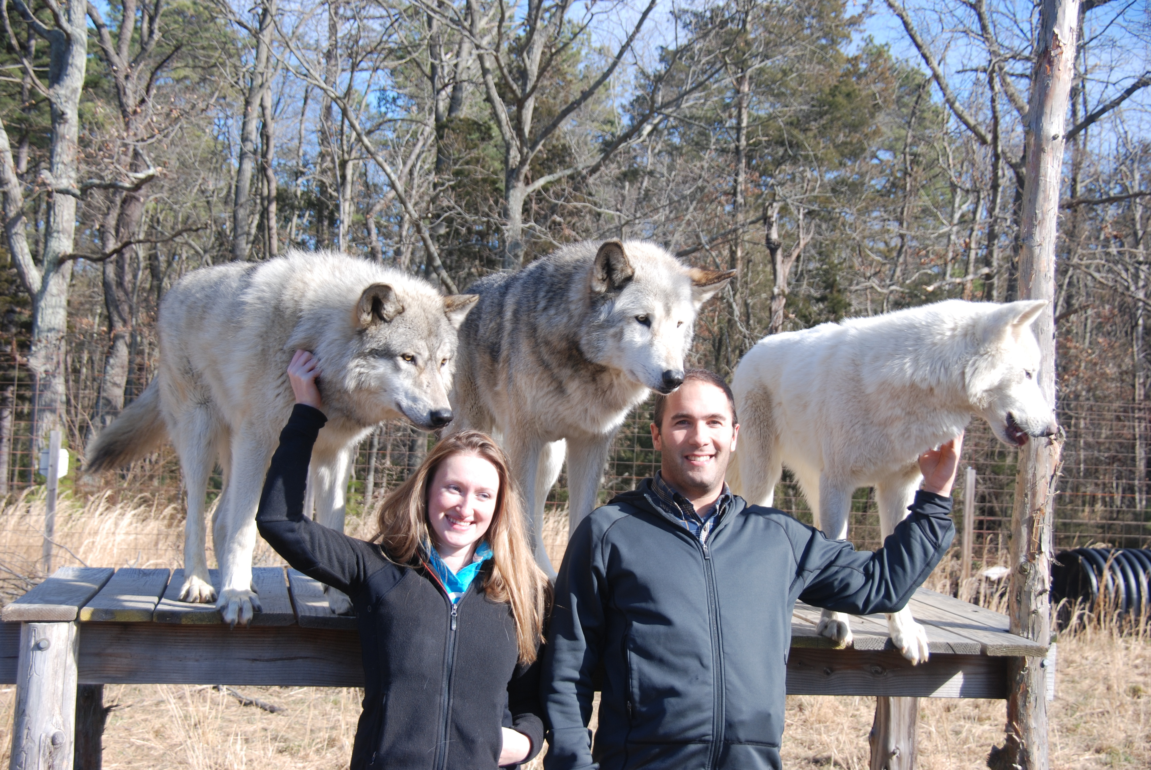 Hybrid Wolf Dogs For Sale Canada