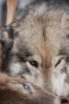 Wolf Hybrid and Deer