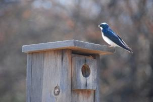 Tree Swallow staking out nest box