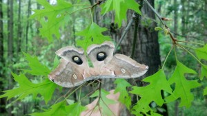 Hatched Polyphemus Moth  placed outside on Pin Oak Tree