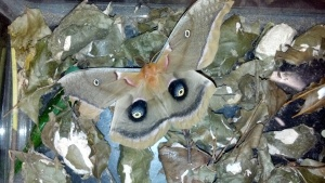 Hatched Polyphemus Moth
