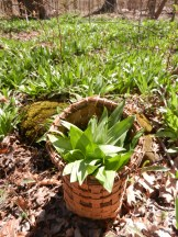 Basket with Early Spring Wild Leeks
