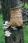 Split Rattan Basket and Oyster Mushrooms at Stokes State Forest
