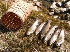 Opening Day Limit, Trout Fishing on the Big Flatbrook, Stokes SP