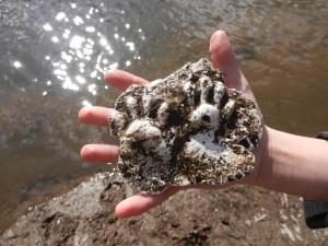 Passaic River Raccoon Tracks in Plaster