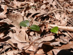 Wintergreen Plant Leaves