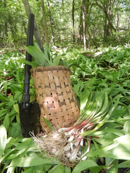 Harvesting the Wild Leeks
