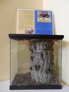 17 Year Cicada Display