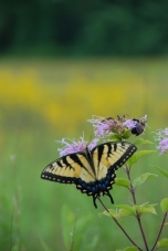 Bumblebee and Tiger Swallowtail