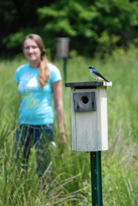 Tree Swallow at Becker Farm Bluebird Box