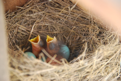 Baby Bluebirds Awakening