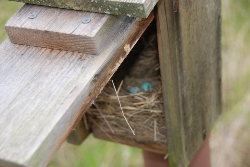 Bluebird Eggs in Box