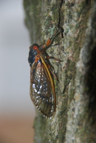 Brood II, 17 year cicada