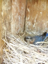Bluebird on Nest