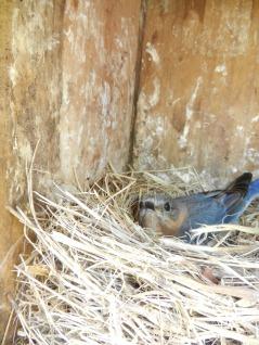 Bluebird on Nest