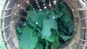 Harvested Garlic Mustard Leaves in Basket