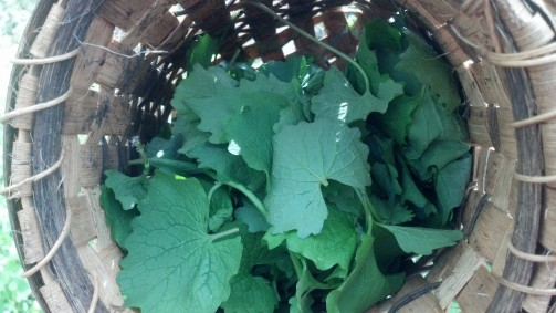 Harvested Garlic Mustard Leaves in Basket