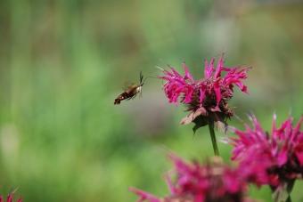 Hummingbird Clearwing Moth (1)