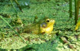 green frog with vocal sac expanded
