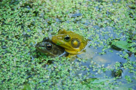 Green Frogs. Amplexus (Rana clamitans)