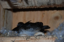 wood duck in house (1)