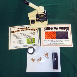Laminated Butterfly Wings Through a Microscope, Buzz Into Action