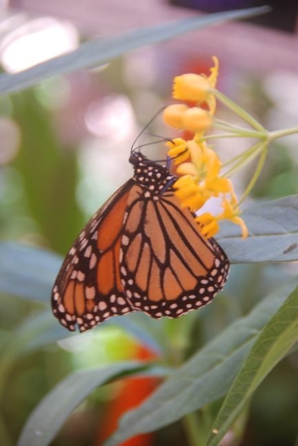 Monarch Nectaring on Swamp Milkweed in Butterfly Tent