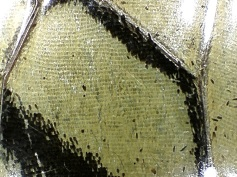 Tiger Swallowtail Butterfly Wing
