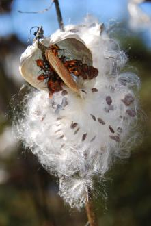 Be sure to seperate Milkweed Seed from Milkweed Beetles prior to packaging