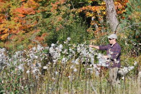 Collecting Milkweed Seed in Bulk