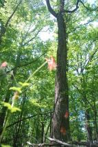 Wild Columbine Below Sweetgum and Oak
