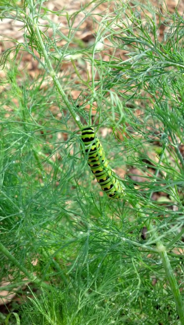 Black Swallowtail Cat on Dill