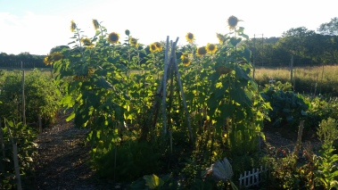 Our Sunflower House at the Community Garden. Beans, eggplant and salad greens growing in the middle.