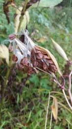 Swamp Milkweed Seeds (3)