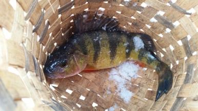 Fat Perch at Splitrock Reservoir