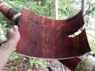 peeled piece from dead birch