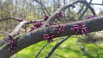Red Bud Tree Blossoms