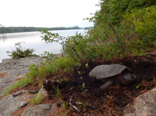 Snapping turtle NatureintoAction