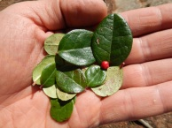 Wintergreen Tea Leaves and Berry