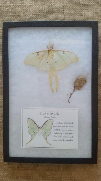 Luna Moth Riker Educational Display. This one was brought to me dead after a playground incident that involved a basketball.
