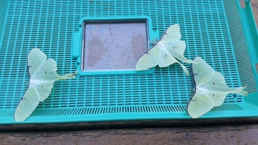 Hatching adult Luna Moths