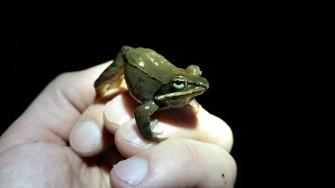Wood Frog, Rana sylvatica