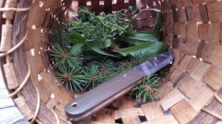 Spring Foraged Edibles, Spruce for tea, trout lily and watercress for trout meal