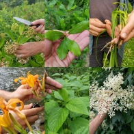 A few wild edibles collected. Common Milkweed, Bayberry, Nodding Onion, Day Lily, Wood Nettle, Elderflower.