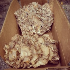 Hen of the Woods Boxed up.